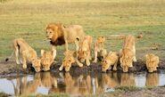 Masai Lion Pride