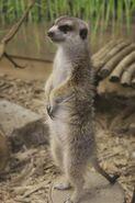 Meerkat Mongoose