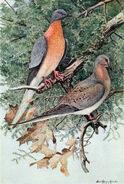 Mershon's The Passenger Pigeon (frontispiece, crop)