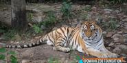 Omaha Zoo Tiger