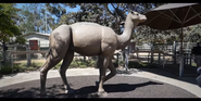 San Diego Zoo Camelops