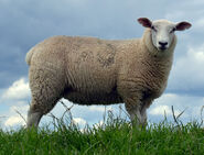 Sheep, Domestic