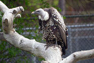 Vulture-Ruppell