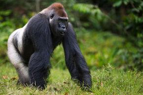 Western-lowland-gorilla-FRONT-PAGE.jpg