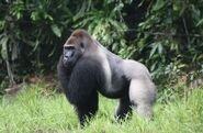 Western-lowland-gorilla-extinction-western-lowland-gorilla1-kajKSd