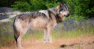 Wolf, British Columbia