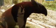 Woodland Park Zoo Tapir