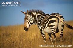 Zebra, Mountain.jpg