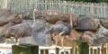 Zoo Anlanta Ostriches