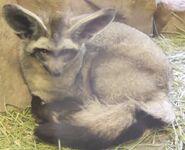 Bat-eared fox utah's hogle zoo