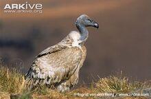 Cape-vulture-.jpg