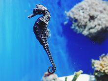 Common seahorse.jpg