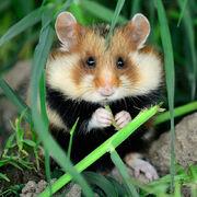 Hamsters-black-bellied-square.jpg