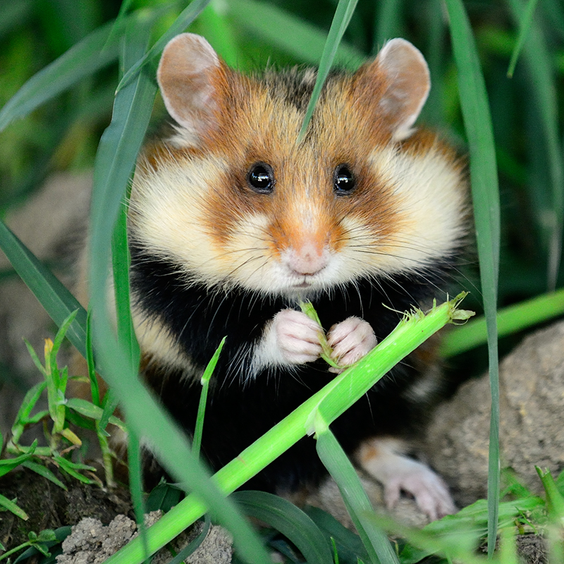 Black-Bellied Hamster