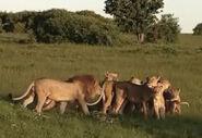 HugoSafari - Lion13