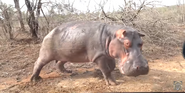 KNP Hippo