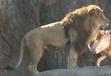 LPZ Lion
