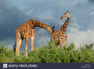 Male and Female Reticulated Giraffes