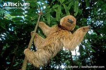 Maned-three-toed-sloth-.jpg