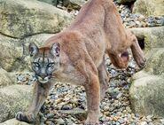 North American cougar (Puma concolor couguar)