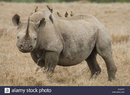 Oxpecker on Rhinoceros