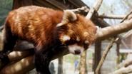 Pittsburgh Zoo Red Panda