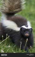 Skunk, Humboldt's Hog-Nosed