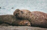 Southern Elephant Seal Bull and Cow