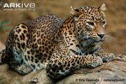 Sri-Lankan-leopard.jpg