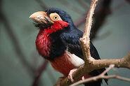 338px-Lybius dubius -Warsaw Zoo, Poland-8a
