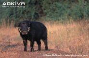 Adult-forest-hog