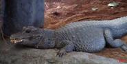 Calgary Zoo Dwarf Crocodile