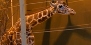 Calgary Zoo Reticulated Giraffe