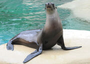 California Sea Lion (V2).jpg