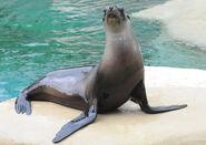 California Sea Lion (V2)