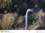 Crying-flamingo-jerusalem-biblical-zoo-park-crying-flamingo-104624325