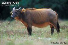 Forest-buffalo.jpg