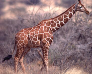 Giraffe, Reticulated