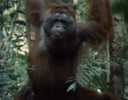 Really Wild Animals Orangutan