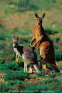 Red Kangaroo Boomer and Flyer