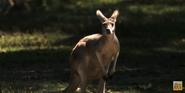 Six Flags Safari Kangaroo