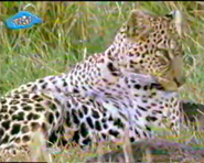 TASwSaJ Leopard