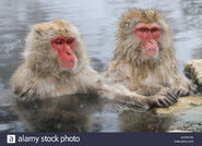 Two Japanese Macaques