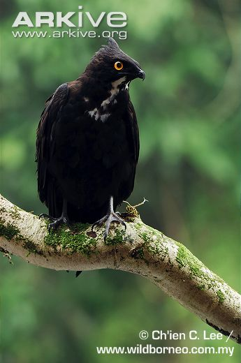 Bat Hawk