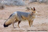 Cape-fox-adult-standing-by-burrow-entrance