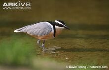 Egyptian-plover-wading-in-shallow-water.jpg