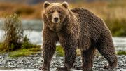 Grizzly Bear (as in an a Species in Real-Life).jpg