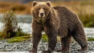 Grizzly Bear (as in an a Species in Real-Life)