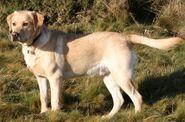 Labrador Retriever (V2)