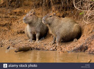 Male and Female Capybaras
